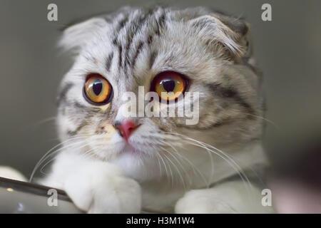 Portrait of a Scottish fold kitten close-up. Colour calico. - Stock Photo