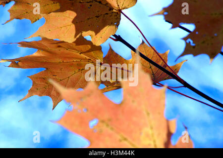 Dry maple leaves on blue sky background - Stock Photo