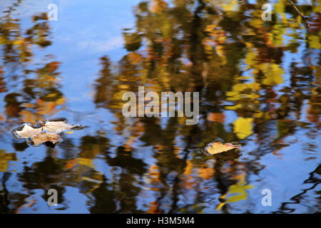 Image of trees in autumn colors reflected in the water, with few leaves floating on the surface - Stock Photo