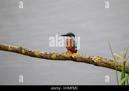Common Kingfisher Alcedo atthis adult male perched on a branch - Stock Photo