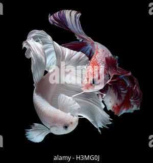fighting of colorful Betta fish isolated on black background - Stock Photo