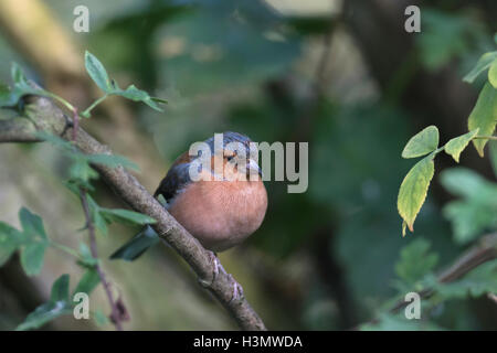Chaffinch sitting on a branch - Stock Photo
