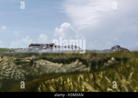 Close up portrait of American crocodile (crodoylus acutus) in the shallows of Chinchorro Atoll, Mexico - Stock Photo