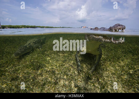 American crocodile (crodoylus acutus) in the shallows of Chinchorro Atoll, Mexico - Stock Photo