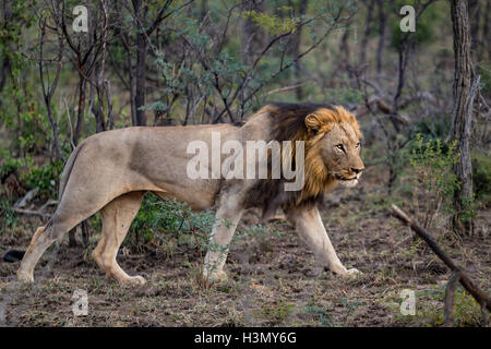Wild African male Lion stalking its prey, Hluhluwe-Imfolozi Park, South Africa - Stock Photo