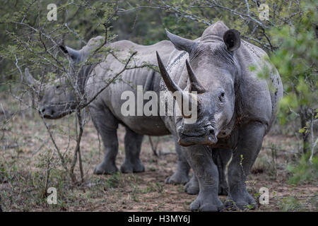 Endangered White Rhino and calf, Hluhluwe-Imfolozi Park, South Africa - Stock Photo