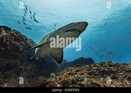 Ragged Tooth or Sand Tiger shark (Carcharias Taurus) cruising reefs, Aliwal Shoal, South Africa - Stock Photo