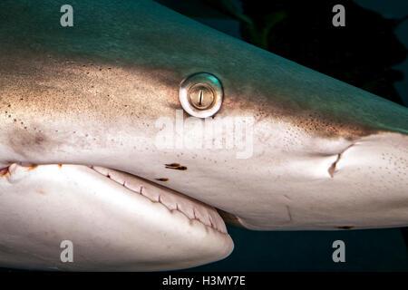 Close up of Oceanic Blacktip Shark (Carcharhinus Limbatus), Aliwal Shoal, South Africa - Stock Photo