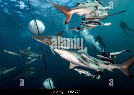 Oceanic Blacktip Sharks (Carcharhinus Limbatus) circling bait near surface of ocean, Aliwal Shoal, South Africa - Stock Photo