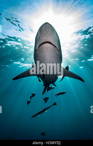 Large Oceanic Blacktip Shark (Carcharhinus Limbatus) swimming near surface of ocean, Aliwal Shoal, South Africa - Stock Photo