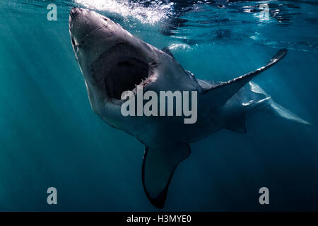 Great White Shark (Carcharodon Carcharias) swimming near surface of ocean, Gansbaai, South Africa - Stock Photo