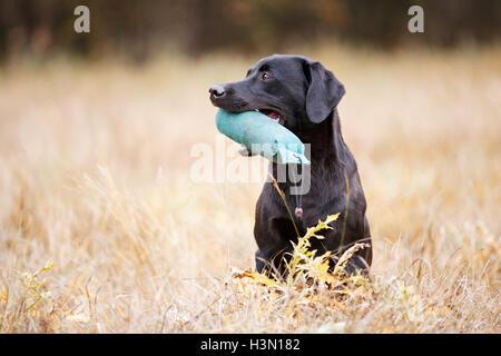 Black labrador retriever sitting on the autumn meadow - Stock Photo