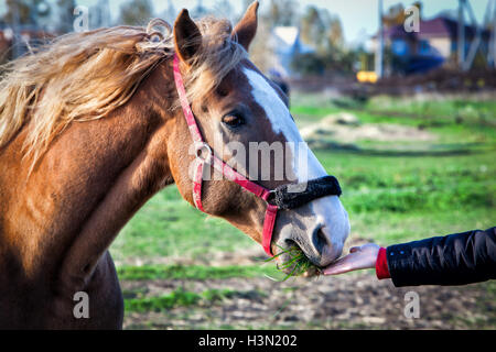 man hand feeding a horse grass - Stock Photo