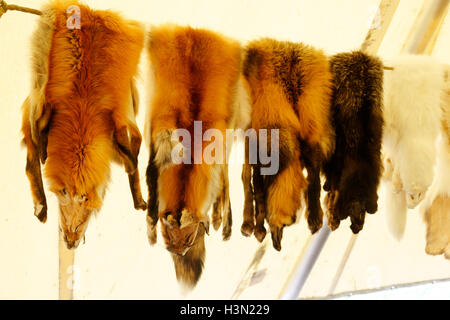 Fox skins in an amerindian wigwam in Kouchibouguac National Park New Brunswick Canada - Stock Photo