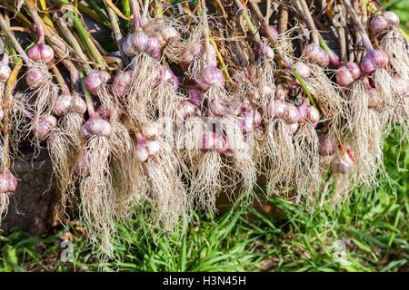 Freshly harvested garlic bulbs drying on the green grass. Nutrition vegetarian Stock Photo