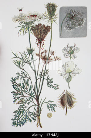 Daucus carota, whose common names include wild carrot, bird's nest, bishop's lace, historical illustration, 1880 - Stock Photo
