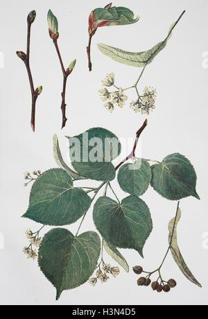 Tilia ulmifolia, lime-tree, lime, historical illustration, 1880 - Stock Photo