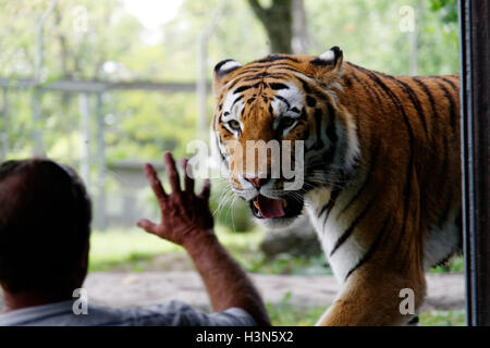 A man looking at the Siberian Tiger in Granby Zoo, Quebec, Canada - Stock Photo