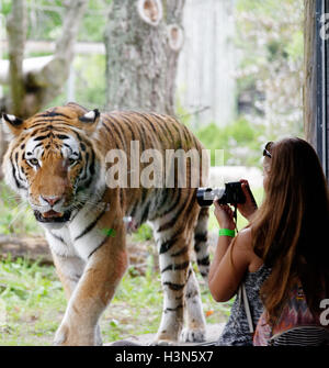 A woman taking a photo of the Siberian tiger in Granby Zoo, Quebec, Canada - Stock Photo