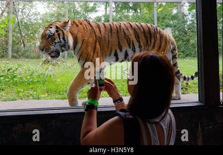 A woman taking a photo of the Siberian tiger with a cellphone in Granby Zoo, Quebec, Canada - Stock Photo