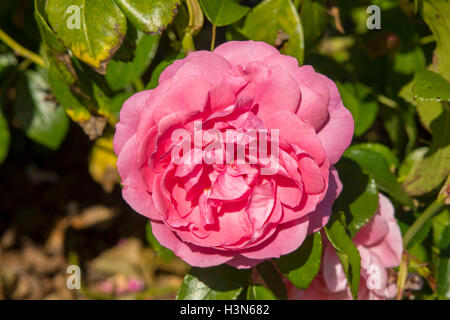 Rosa Friends Forever - Stock Photo