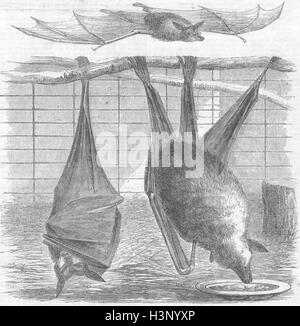 BATS Flying-Foxes, Gdns of zoo, Regent's Park 1856. Illustrated Times - Stock Photo