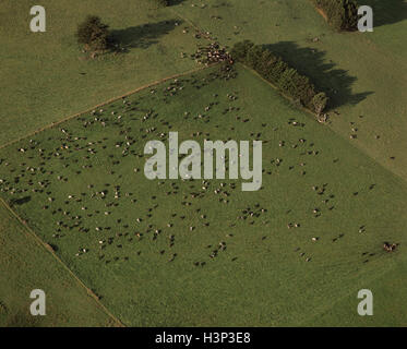 Aerial view of farmland with grazing dairy cattle. - Stock Photo