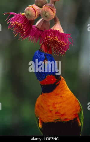 Red-collared lorikeet (Trichoglossus rubritorquis) - Stock Photo