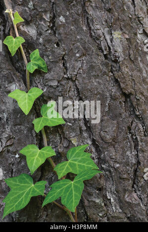 Climbing common Baltic ivy stem, hedera helix L. var. baltica, fresh new young evergreen creeper leaves, large detailed - Stock Photo
