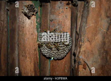 Wasp nest with wasps sitting on it. Wasps polist. The nest of a family of wasps which is taken a close-up. - Stock Photo