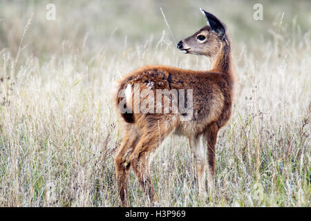 Black-tailed Deer - Rathtrevor Beach Provincial Park - Parksville, Vancouver Island, British Columbia, Canada - Stock Photo