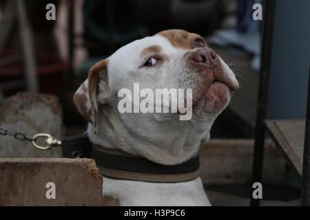 Pictures of a Pitbull in Baja California Mexico, city of rosarito - Stock Photo