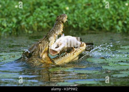 Estuarine crocodile (Crocodylus porosus) - Stock Photo