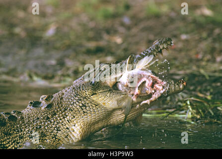 Estuarine crocodile (Crocodylus porosus) - Stock Photo