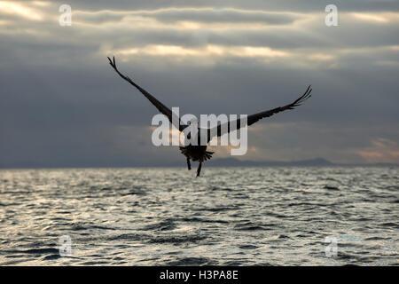Galapagos Brown Pelican (Pelecanus occidentalis urinator) in flight at dusk, Black Turtle Bay, Santa Cruz Island, - Stock Photo