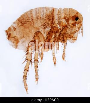 Human flea. Light micrograph (LM) of a female human flea (Pulex irratans). Fleas are wingless and flattened from - Stock Photo