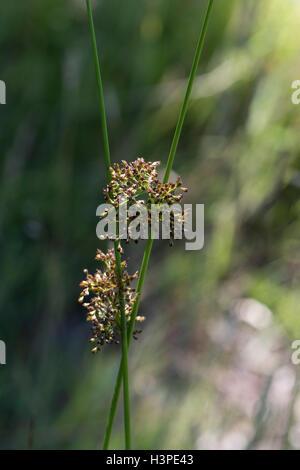 Juncus effusis, Soft Rush, growing by a pond, Surrey, UK. July. - Stock Photo