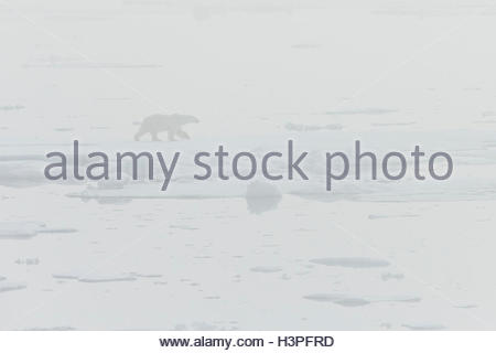 Ghost polar bear in the fog (Ursus maritimus), Polar Bear Pass in Lancaster Sound, Nunavut. - Stock Photo