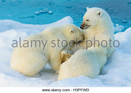 Mother polar bear nursing two cubs, 2nd year, Polar Bear Pass, Lancaster Sound, Nunavut. - Stock Photo