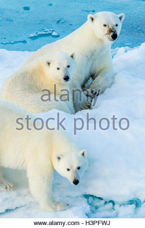 Mother polar bear with two cubs (Ursus maritimus), Polar Bear Pass in Lancaster Sound. - Stock Photo