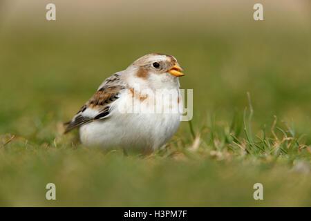 Snow Bunting Plectrophenax nivalis adult male bird - Stock Photo