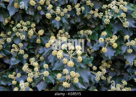 Common Ivy (Hedera helix) in flower, closeup, Divonne les bains,  Ain department in eastern France - Stock Photo