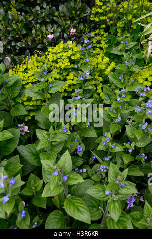 forget me not myosotis sylvatica euphorbia green blue fowers flowering spring RM Floral - Stock Photo