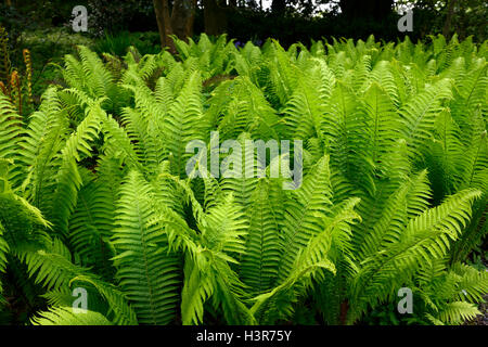 Matteuccia struthiopteris Shuttlecock ostrich fern ferns lime green fronds dimorphic sterile shade shady shaded - Stock Photo