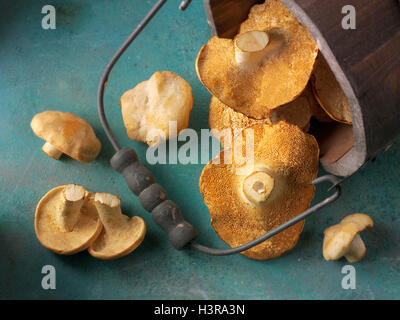 Fresh picked wiild organic Pied de Mouton Mushrooms (hydnum repandum) or hedgehog mushrooms - Stock Photo