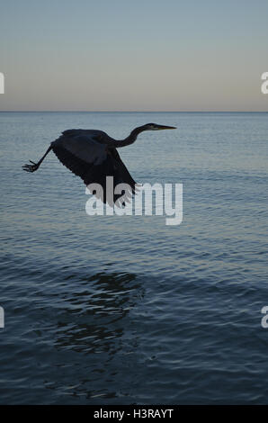 Silhouetted great blue heron flying above the water. - Stock Photo