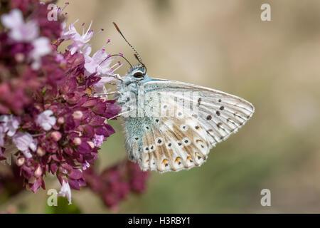 Chalkhill Blue butterfly (Polyommatus coridon) feeding on  Wild Marjoram flowers - Stock Photo