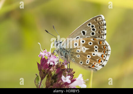 Male Adonis Blue butterfly (Polyommatus / Lysandra bellargus) on Marjoram - Stock Photo
