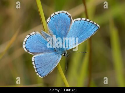 Male Adonis Blue butterfly (Polyommatus / Lysandra bellargus) - Stock Photo
