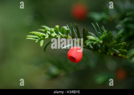 Close-up of Yew Tree (Taxus baccata) berries - Stock Photo
